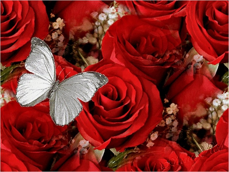 red roses butterfly